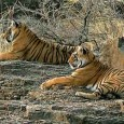 Rajasthan is a haven for a wide spectrum of wildlife sanctuaries. The topography of Rajasthan ranges from the barren desert, scrub-thorn arid forests, rocks and ravines to wetlands and lush, […]