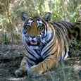 Sawai Madhopur is the gateway to the tiger territory of Ranthambhor National Park. Historically the area played an important role, having witnessed raging battles and the rise and fall of...