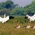 World renowned Keoladeo National Park originated two centuries ago when Maharaja Suraj Mal created a private duck shooting reserve for the Maharajas of Bharatpur. After independence, on March 13, 1956...
