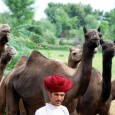 The Kumbhalgarh camels are among the tallest in the world, sometimes having a withers height of more than two meters. They are one-humped or dromedary camels and their colors range […]