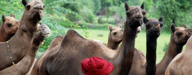 The Kumbhalgarh camels are among the tallest in the world, sometimes having a withers height of more than two meters. They are one-humped or dromedary camels and their colors range...