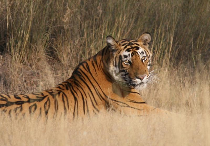 Reclining_Tiger_Ranthambore_National_Park