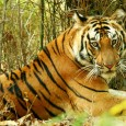 "Bandhavgarh, the original land of white tiger, is a quaint and densely forested area in Madhya Pradesh. The place, often referred to as the ""Country of Tigers"" is one of […]"